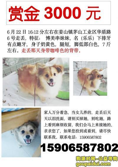 宁波寻狗启示,鄞州区姜山镇茅山工业区丢失 黄色博美串妹妹,它是一只非常可爱的宠物狗狗,希望它早日回家,不要变成流浪狗。