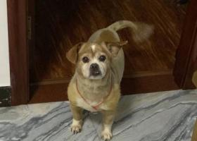 寻狗启示,寻狗 2019年12月19日 仓山区上渡洋洽社区附近,它是一只非常可爱的宠物狗狗,希望它早日回家,不要变成流浪狗。