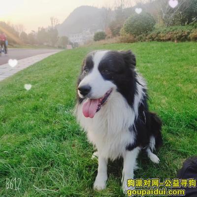 ,寻找边境牧羊犬(战狼),它是一只非常可爱的宠物狗狗,希望它早日回家,不要变成流浪狗。