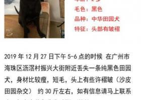 寻狗启示,广州沥滘存寻狗启示!有偿,它是一只非常可爱的宠物狗狗,希望它早日回家,不要变成流浪狗。