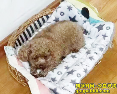 青岛寻狗,2000元急寻泰迪犬一只,它是一只非常可爱的宠物狗狗,希望它早日回家,不要变成流浪狗。