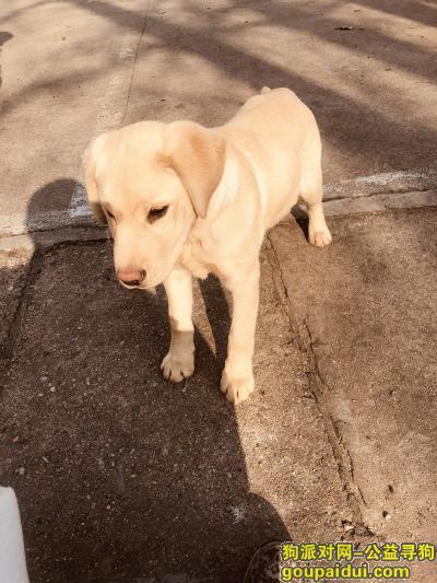 ,一只四个月左右拉布拉多,鼻头发白,它是一只非常可爱的宠物狗狗,希望它早日回家,不要变成流浪狗。