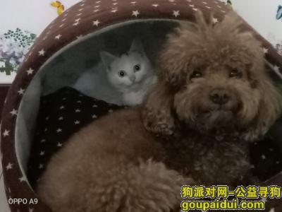 ,棕色泰迪在河北省沧州市新华区阿尔卡迪亚新儒苑小区丢失,是否出小区并不清楚,它是一只非常可爱的宠物狗狗,希望它早日回家,不要变成流浪狗。