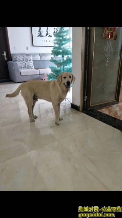 ,寻爱犬乳白色拉布拉多,它是一只非常可爱的宠物狗狗,希望它早日回家,不要变成流浪狗。