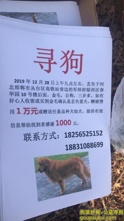 邯郸找狗,邯郸市丛台区春华园酬谢一万元寻找金毛犬,它是一只非常可爱的宠物狗狗,希望它早日回家,不要变成流浪狗。