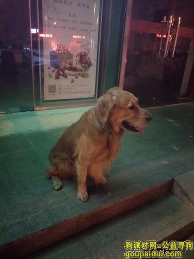 济南找狗主人,金毛 丢失的主人快来认领,它是一只非常可爱的宠物狗狗,希望它早日回家,不要变成流浪狗。