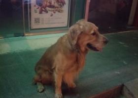 寻狗启示,金毛 丢失的主人快来认领,它是一只非常可爱的宠物狗狗,希望它早日回家,不要变成流浪狗。