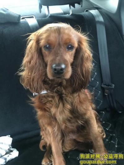 烟台找狗,烟台五区寻狗 可卡 棕色,它是一只非常可爱的宠物狗狗,希望它早日回家,不要变成流浪狗。