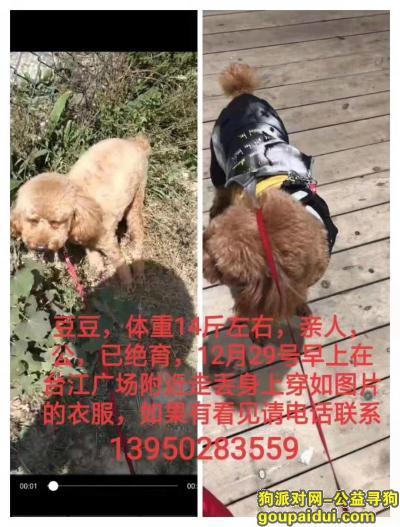 ,棕色贵宾豆豆快回家吧,它是一只非常可爱的宠物狗狗,希望它早日回家,不要变成流浪狗。
