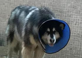 寻狗启示,寻狗启示阿拉斯加好心人捡到与我联系,它是一只非常可爱的宠物狗狗,希望它早日回家,不要变成流浪狗。