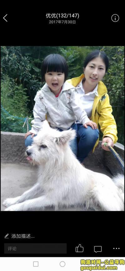 福州找狗,图片上这个白色狗狗(有几块轻微淡黄),它是一只非常可爱的宠物狗狗,希望它早日回家,不要变成流浪狗。