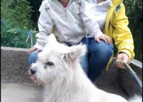 寻狗启示,图片上这个白色狗狗(有几块轻微淡黄),它是一只非常可爱的宠物狗狗,希望它早日回家,不要变成流浪狗。
