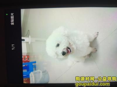 莆田找狗,地点荔城区体育场附近 走丢一只白色比熊,它是一只非常可爱的宠物狗狗,希望它早日回家,不要变成流浪狗。