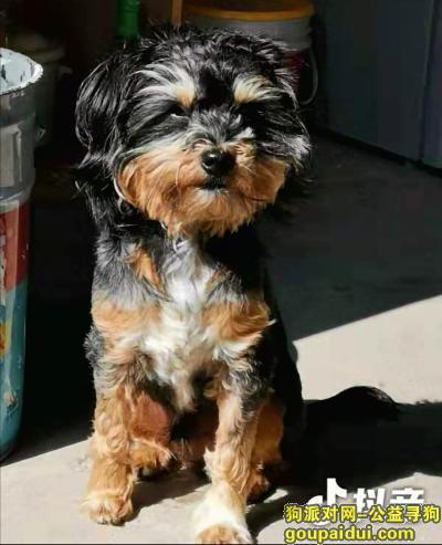 ,惠州寻狗 小型犬 急急急,它是一只非常可爱的宠物狗狗,希望它早日回家,不要变成流浪狗。