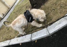 寻狗启示,寻小狗-合肥金寨路与太湖路交叉口中科大门口(近出版社),它是一只非常可爱的宠物狗狗,希望它早日回家,不要变成流浪狗。