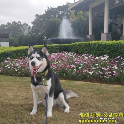 寻狗启示,本人丢失哈士奇雄性狗,急盼狗狗归来,它是一只非常可爱的宠物狗狗,希望它早日回家,不要变成流浪狗。