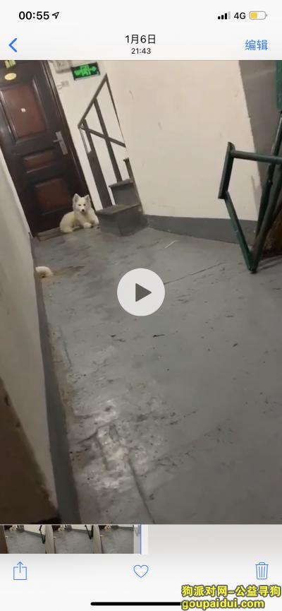 宁波找狗,寻找一条六个月大的白色萨摩耶,它是一只非常可爱的宠物狗狗,希望它早日回家,不要变成流浪狗。
