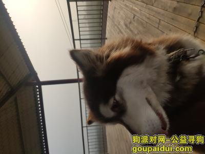 洛阳找狗主人,洛阳十月底上海市场附近捡到阿拉斯加,它是一只非常可爱的宠物狗狗,希望它早日回家,不要变成流浪狗。