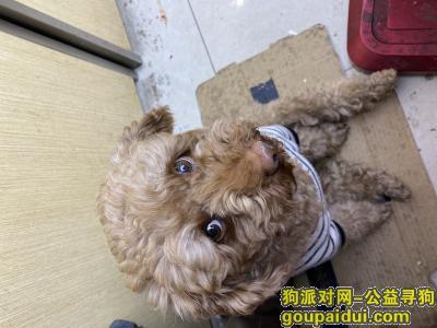 寻狗启示,四川广安 寻一只泰迪,它是一只非常可爱的宠物狗狗,希望它早日回家,不要变成流浪狗。
