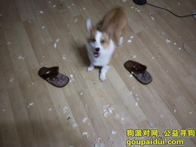寻狗启示,成都市建材路优品尚东附近重酬3000,它是一只非常可爱的宠物狗狗,希望它早日回家,不要变成流浪狗。