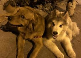 寻狗启示,两个宝贝儿你们快回来,它是一只非常可爱的宠物狗狗,希望它早日回家,不要变成流浪狗。
