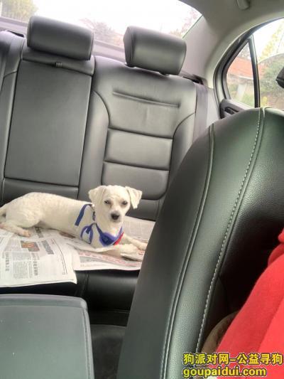 南通寻狗,新建路附近丢失白色比熊,,它是一只非常可爱的宠物狗狗,希望它早日回家,不要变成流浪狗。