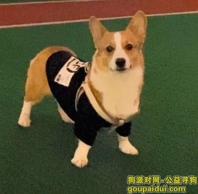 萍乡找狗,帮忙找柯基一岁名字叫做ak,它是一只非常可爱的宠物狗狗,希望它早日回家,不要变成流浪狗。