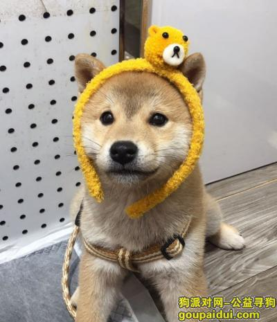 义乌寻狗启示,诚信走丢,如找回必有重谢,它是一只非常可爱的宠物狗狗,希望它早日回家,不要变成流浪狗。