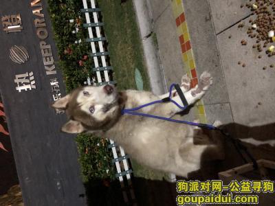 广州捡到狗,阿拉斯加雪橇犬(公犬)寻找失主,它是一只非常可爱的宠物狗狗,希望它早日回家,不要变成流浪狗。