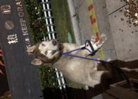 寻狗启示,阿拉斯加雪橇犬(公犬)寻找失主,它是一只非常可爱的宠物狗狗,希望它早日回家,不要变成流浪狗。