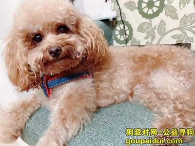 寻狗启示,深圳民治松和小学,展滔科技大厦附近走掉小泰迪犬,它是一只非常可爱的宠物狗狗,希望它早日回家,不要变成流浪狗。