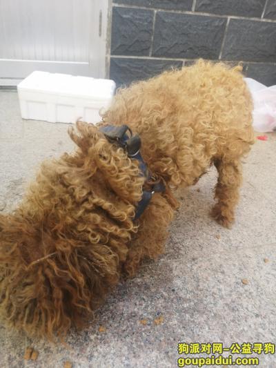 威海找狗,在荣城邱家捡到一只泰迪 身上有蓝色狗带,它是一只非常可爱的宠物狗狗,希望它早日回家,不要变成流浪狗。