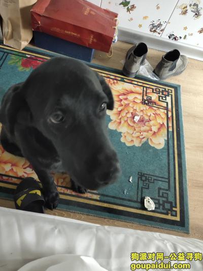 大连寻狗主人,兴工街附近捡到的狗狗黑色拉布拉多差不多半年,它是一只非常可爱的宠物狗狗,希望它早日回家,不要变成流浪狗。