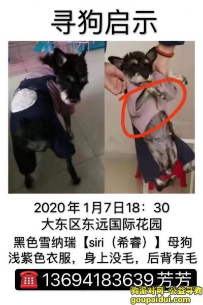 寻狗启示,重金寻雪纳瑞希瑞(sirui),酬金3000元。,它是一只非常可爱的宠物狗狗,希望它早日回家,不要变成流浪狗。