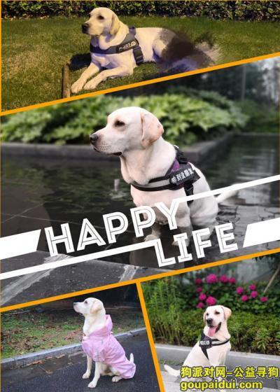 镇江寻狗启示,镇江市润州区东篱春晓于1月26日中午走丢拉布拉多,它是一只非常可爱的宠物狗狗,希望它早日回家,不要变成流浪狗。