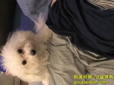 寻狗启示,寻狗狗,名字叫小美,母狗,比熊,在南开区卫安中里附近走失,找到酬金3000元,它是一只非常可爱的宠物狗狗,希望它早日回家,不要变成流浪狗。