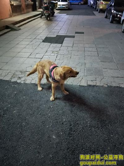 ,金毛在东安区清福小区丢失,它是一只非常可爱的宠物狗狗,希望它早日回家,不要变成流浪狗。