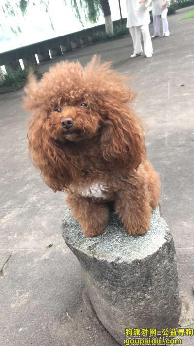 泸州寻狗启示,寻找红泰迪一只,必有重谢!,它是一只非常可爱的宠物狗狗,希望它早日回家,不要变成流浪狗。