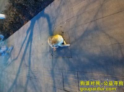 太原找狗,太原市晋祠路广兴街口,它是一只非常可爱的宠物狗狗,希望它早日回家,不要变成流浪狗。