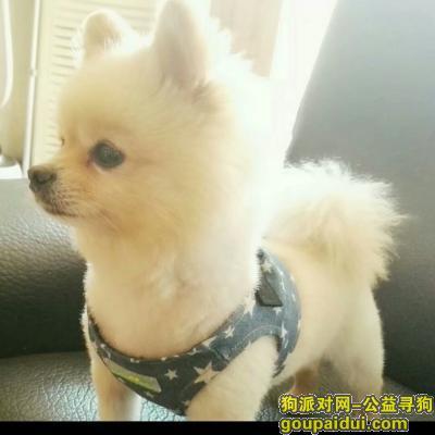 深圳捡到狗,博美狗狗找原主人,不需报酬,一定要原主才可拿回。,它是一只非常可爱的宠物狗狗,希望它早日回家,不要变成流浪狗。