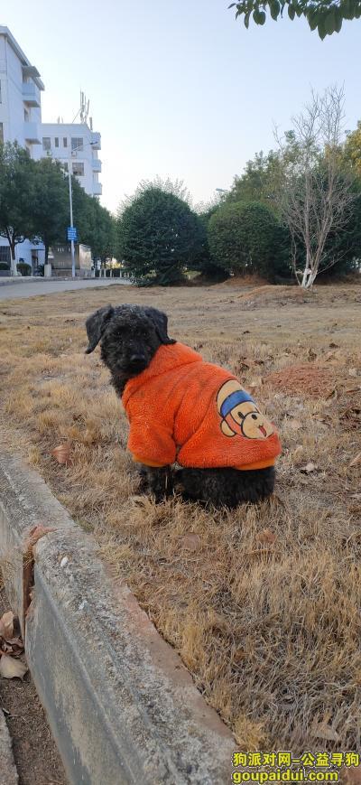 赣州寻狗网,章贡区发现黑色流浪泰迪,它是一只非常可爱的宠物狗狗,希望它早日回家,不要变成流浪狗。