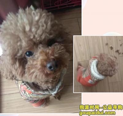 芜湖找狗,有偿找一只泰迪狗 很急,它是一只非常可爱的宠物狗狗,希望它早日回家,不要变成流浪狗。