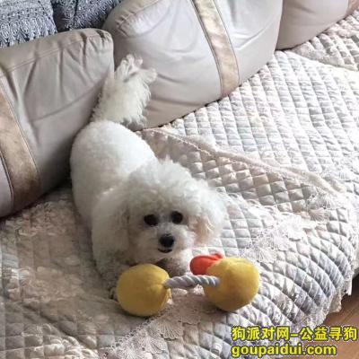 大连找狗,白色比熊 2020.01 在大连锦绣走失 重金酬谢,它是一只非常可爱的宠物狗狗,希望它早日回家,不要变成流浪狗。