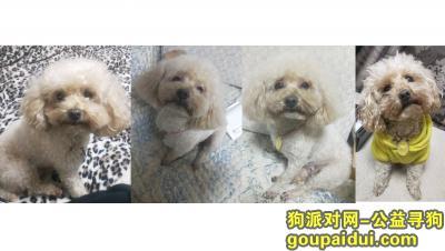 ,杭州上城区走失一只香槟色小泰迪,它是一只非常可爱的宠物狗狗,希望它早日回家,不要变成流浪狗。