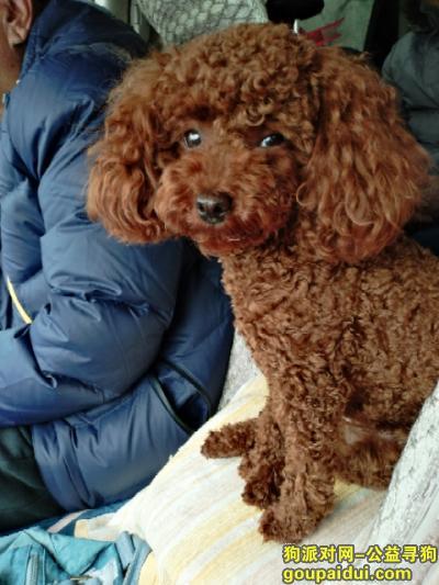 洛阳寻狗,重金寻狗启示,泰迪,团团,它是一只非常可爱的宠物狗狗,希望它早日回家,不要变成流浪狗。