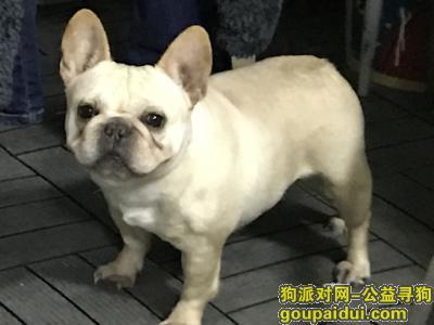 合肥找狗,5岁法斗丢失,奶油色,方面酬谢,谢谢,它是一只非常可爱的宠物狗狗,希望它早日回家,不要变成流浪狗。