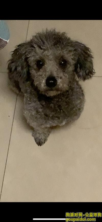 太原寻狗启示,太原尖草坪太钢附近灰色泰迪找主人,它是一只非常可爱的宠物狗狗,希望它早日回家,不要变成流浪狗。
