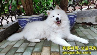 ,寻狗:2020年1月30日晚,白色萨摩耶走丢,后湖金桥大道附近,公狗,温顺,名字:哈利,请看到的好心人联系:17720539805,它是一只非常可爱的宠物狗狗,希望它早日回家,不要变成流浪狗。