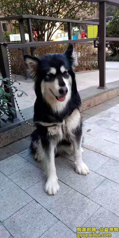 郑州找狗主人,阿拉斯加 公  2岁左右,它是一只非常可爱的宠物狗狗,希望它早日回家,不要变成流浪狗。