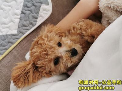 寻狗启示,丢失6个月贵宾,名字萌萌,毛孩子回家吧,它是一只非常可爱的宠物狗狗,希望它早日回家,不要变成流浪狗。